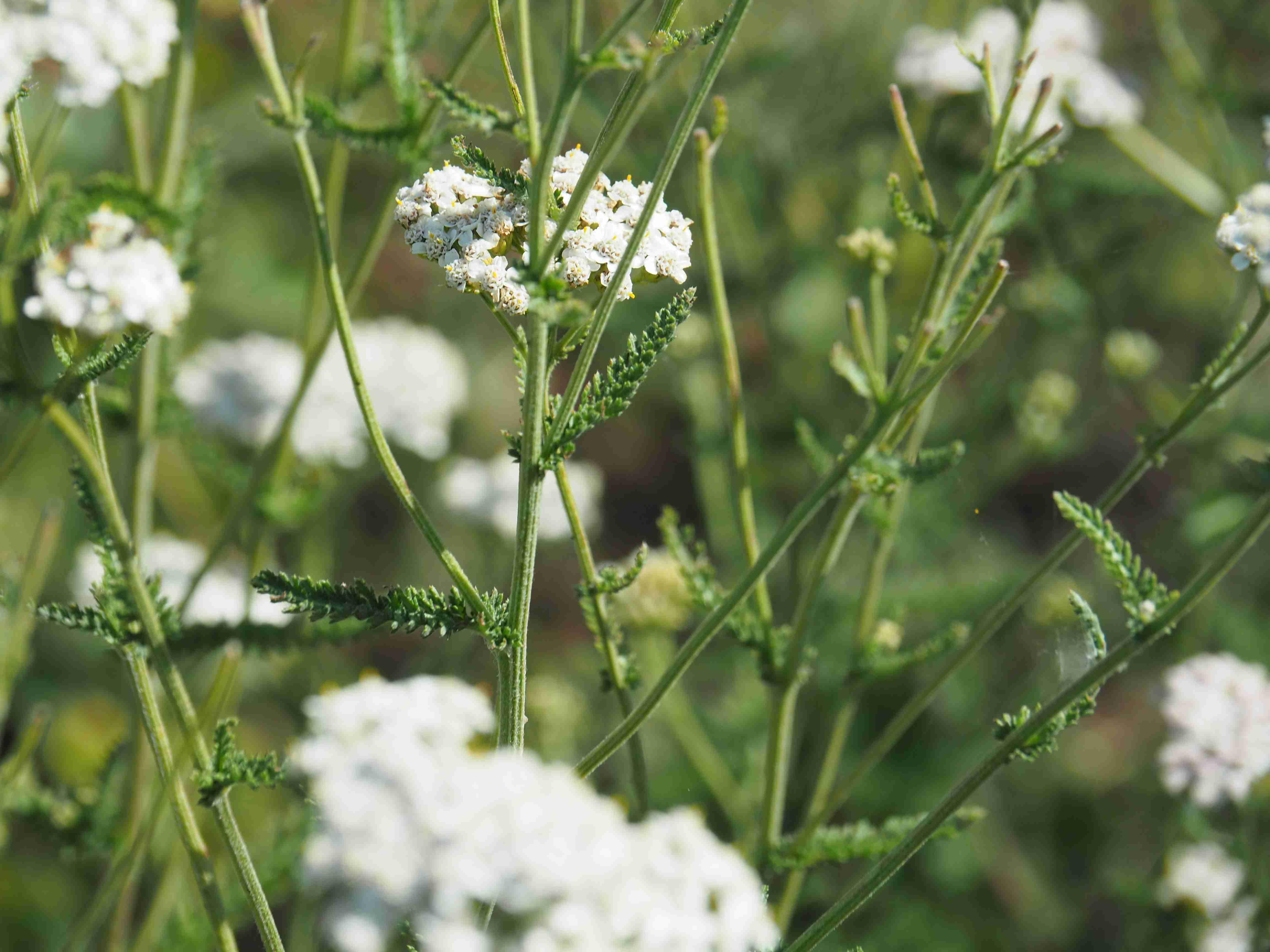 le courtil des arômes, plantes médicinales et aromatiques