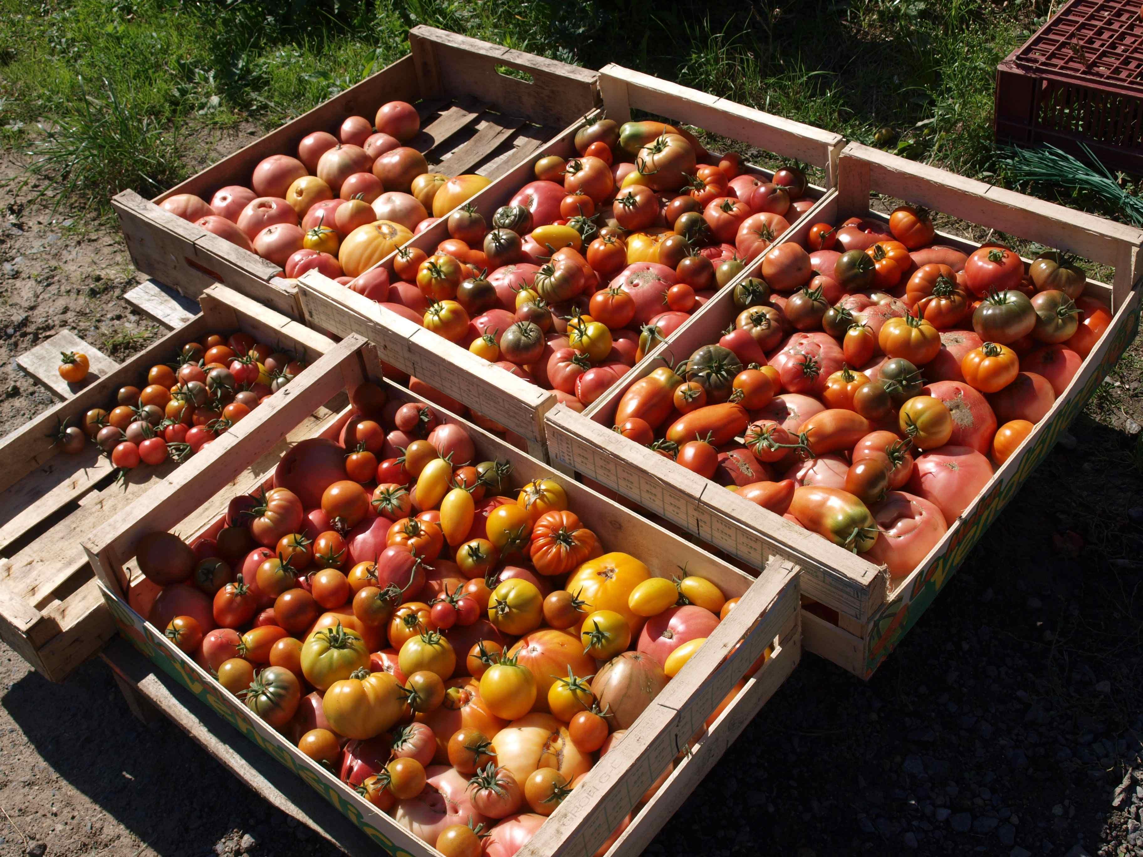 Tomates de Benoît Deloffre