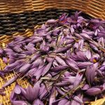 Panier de Crocus sativus, Le safran des Ardennes