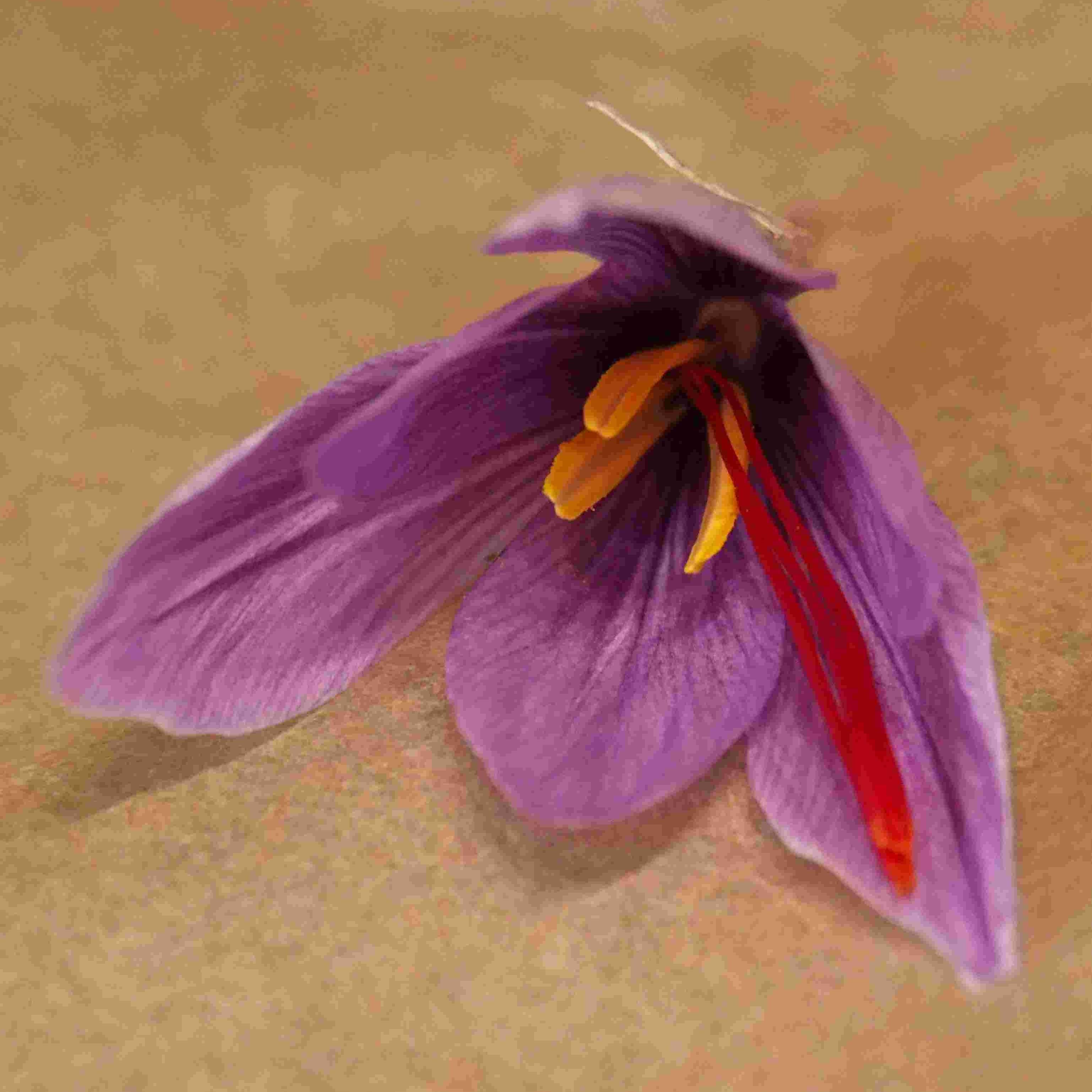 Le Crocus sativus !