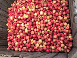 Des pommes, des pommes...