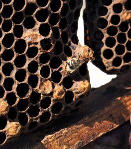 Naissance d'une abeille