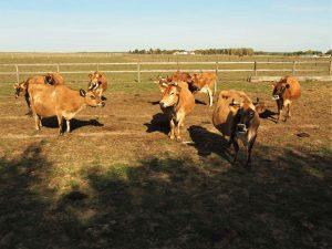 Le bonheur est dans le pré… des vaches !