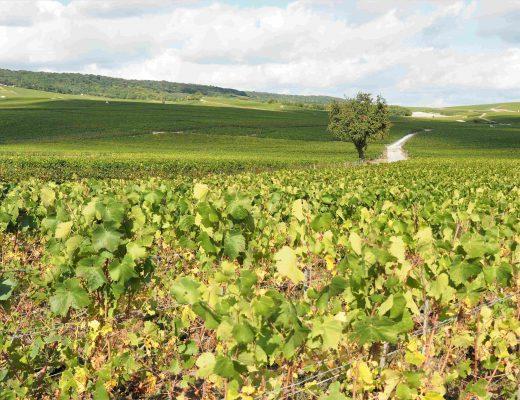 Vignoble près d'Ambonnay
