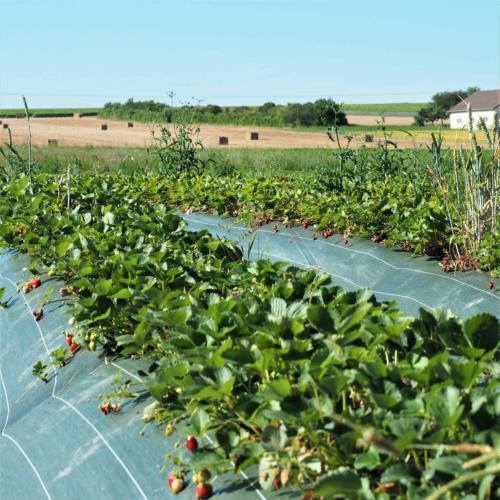 Champ de fraises pleine terre