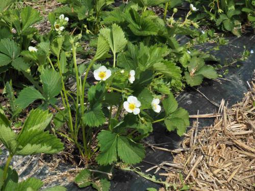 Futures fraises...en fleurs
